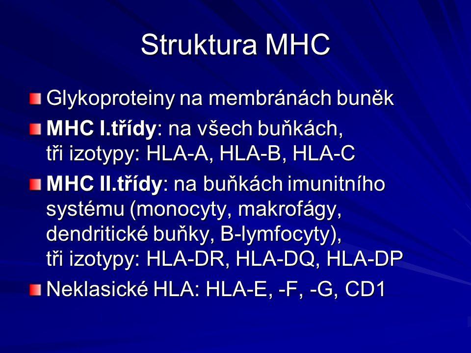 Struktura MHC Glykoproteiny na membránách buněk