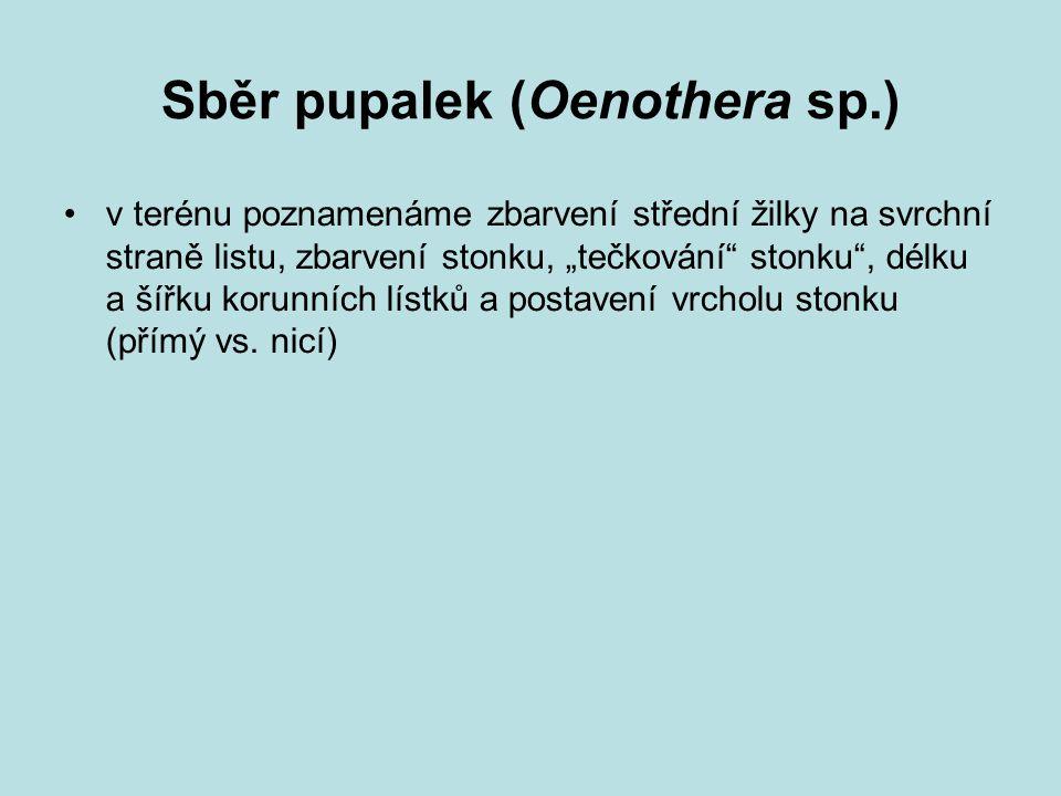 Sběr pupalek (Oenothera sp.)