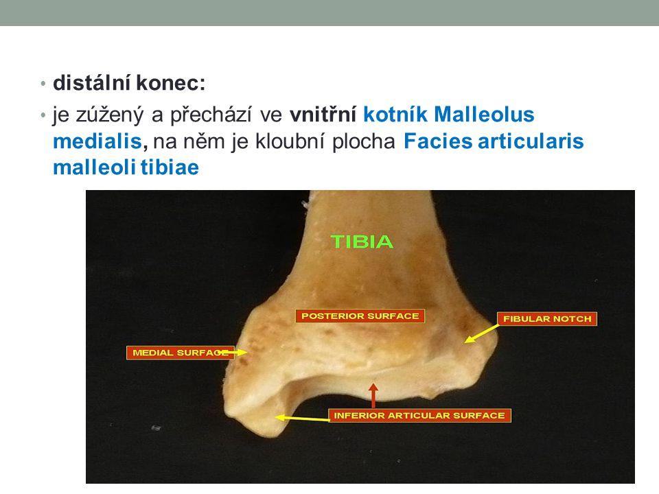 distální konec: je zúžený a přechází ve vnitřní kotník Malleolus medialis, na něm je kloubní plocha Facies articularis malleoli tibiae.