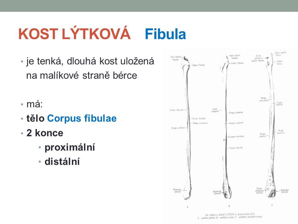 KOST LÝTKOVÁ Fibula je tenká, dlouhá kost uložená
