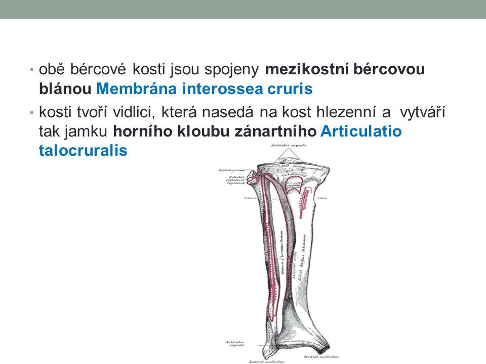 obě bércové kosti jsou spojeny mezikostní bércovou blánou Membrána interossea cruris