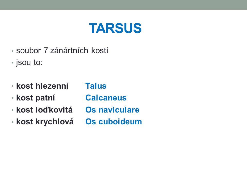 TARSUS soubor 7 zánártních kostí jsou to: kost hlezenní Talus