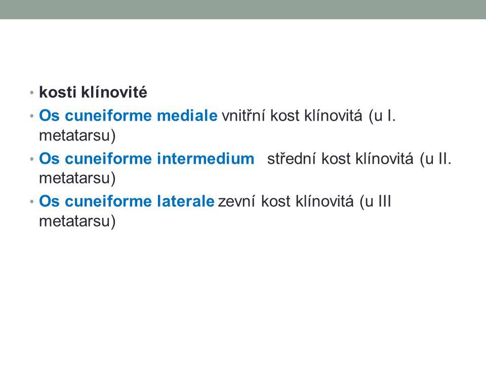kosti klínovité Os cuneiforme mediale vnitřní kost klínovitá (u I. metatarsu) Os cuneiforme intermedium střední kost klínovitá (u II. metatarsu)