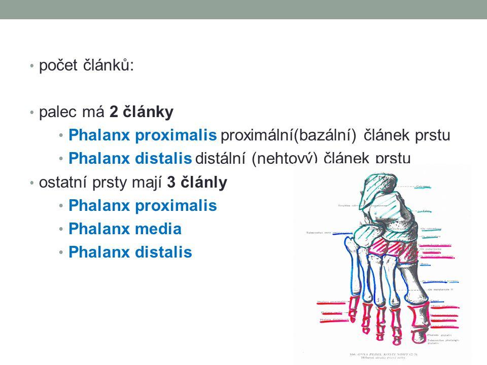 počet článků: palec má 2 články. Phalanx proximalis proximální(bazální) článek prstu. Phalanx distalis distální (nehtový) článek prstu.
