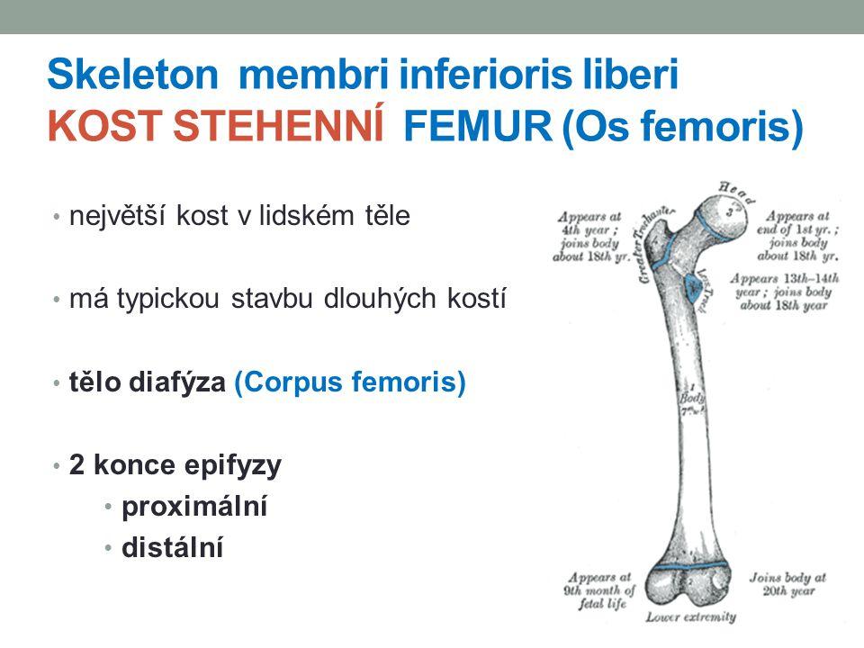 Skeleton membri inferioris liberi KOST STEHENNÍ FEMUR (Os femoris)
