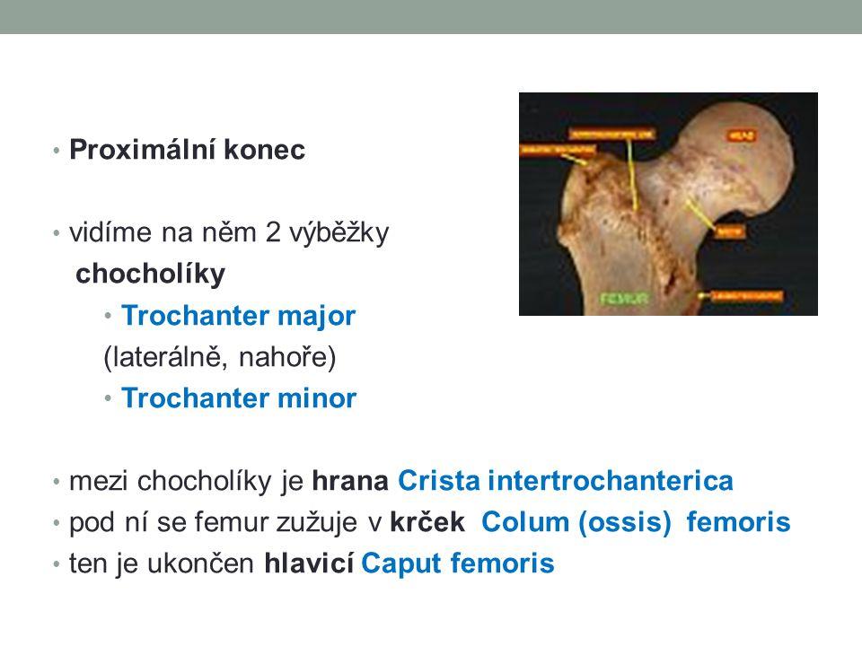 Proximální konec vidíme na něm 2 výběžky. chocholíky. Trochanter major. (laterálně, nahoře) Trochanter minor.