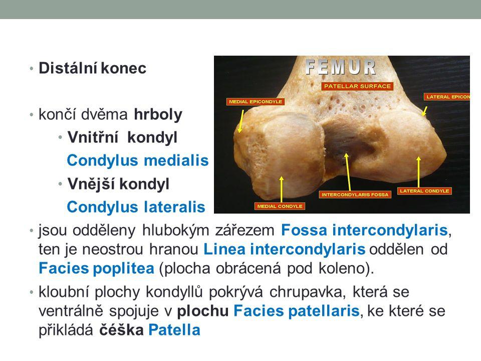 Distální konec končí dvěma hrboly. Vnitřní kondyl. Condylus medialis. Vnější kondyl. Condylus lateralis.