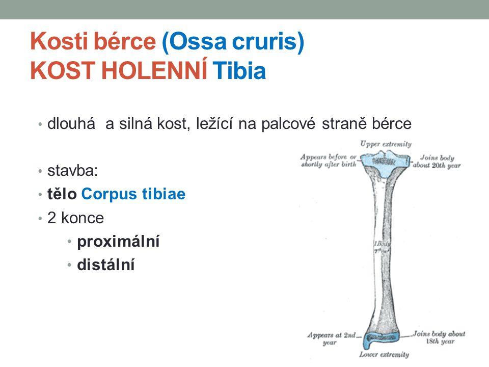 Kosti bérce (Ossa cruris) KOST HOLENNÍ Tibia