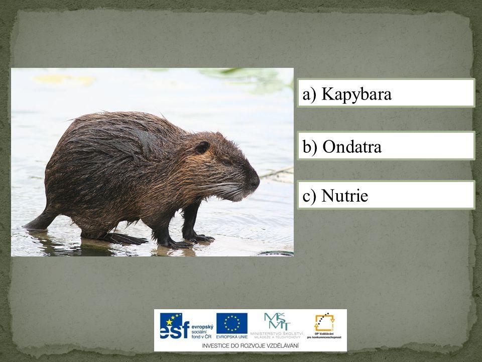a) Kapybara b) Ondatra c) Nutrie