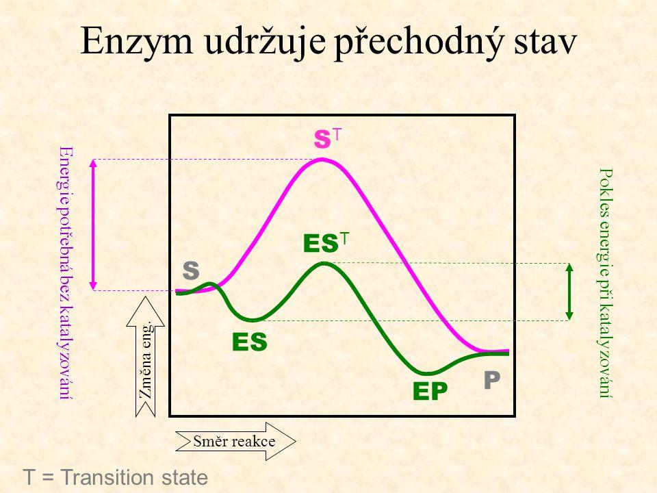Enzym udržuje přechodný stav