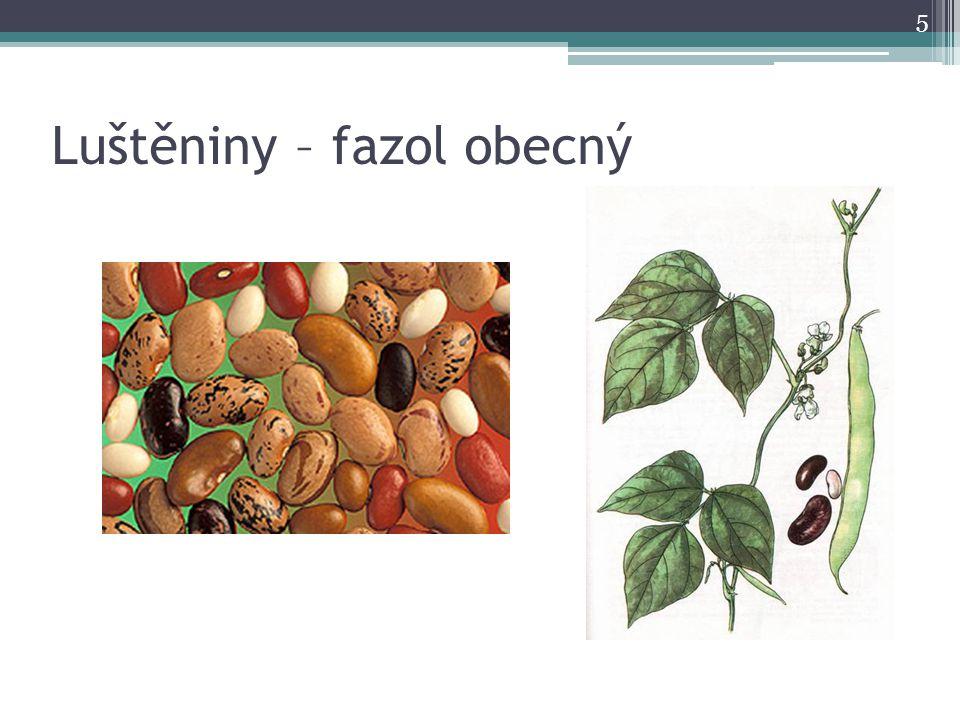 Luštěniny – fazol obecný