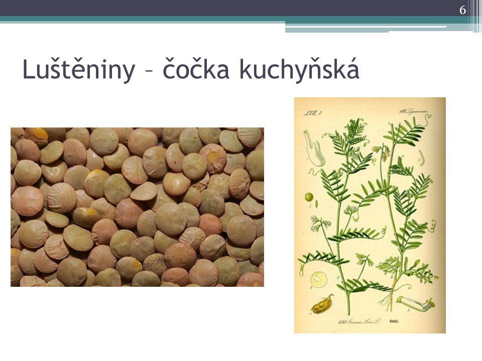 Luštěniny – čočka kuchyňská