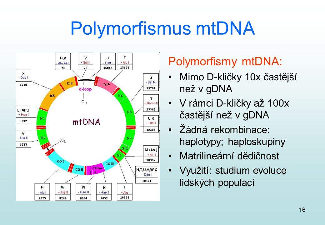 Polymorfismus mtDNA Polymorfismy mtDNA: