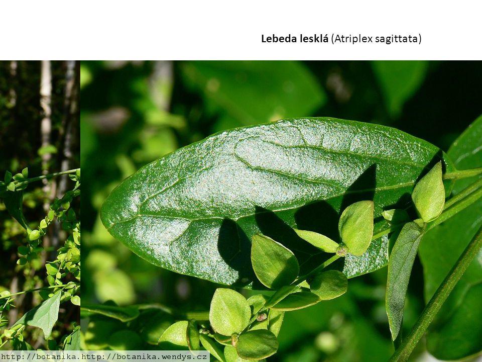 Lebeda lesklá (Atriplex sagittata)