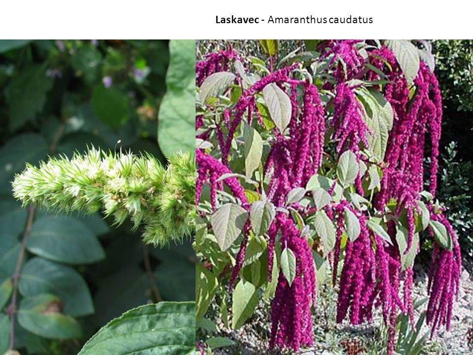 Laskavec - Amaranthus caudatus
