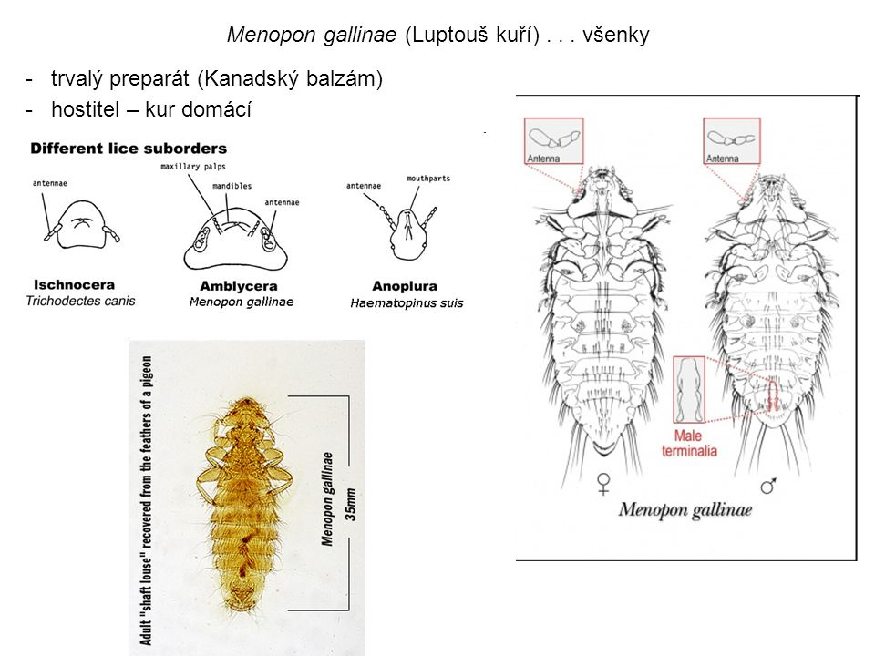 Menopon gallinae (Luptouš kuří) . . . všenky