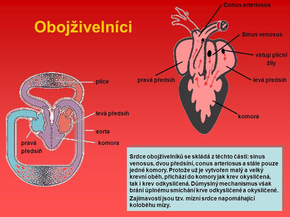 Obojživelníci Sinus venosus levá předsíň vstup plicní žíly
