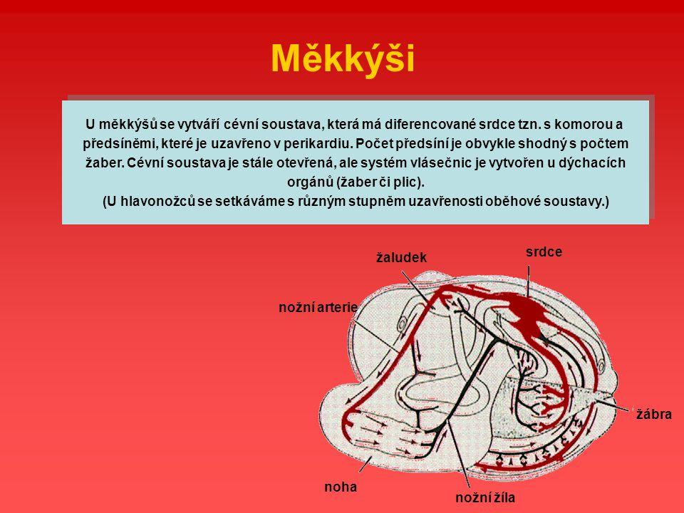Měkkýši U měkkýšů se vytváří cévní soustava, která má diferencované srdce tzn. s komorou a.