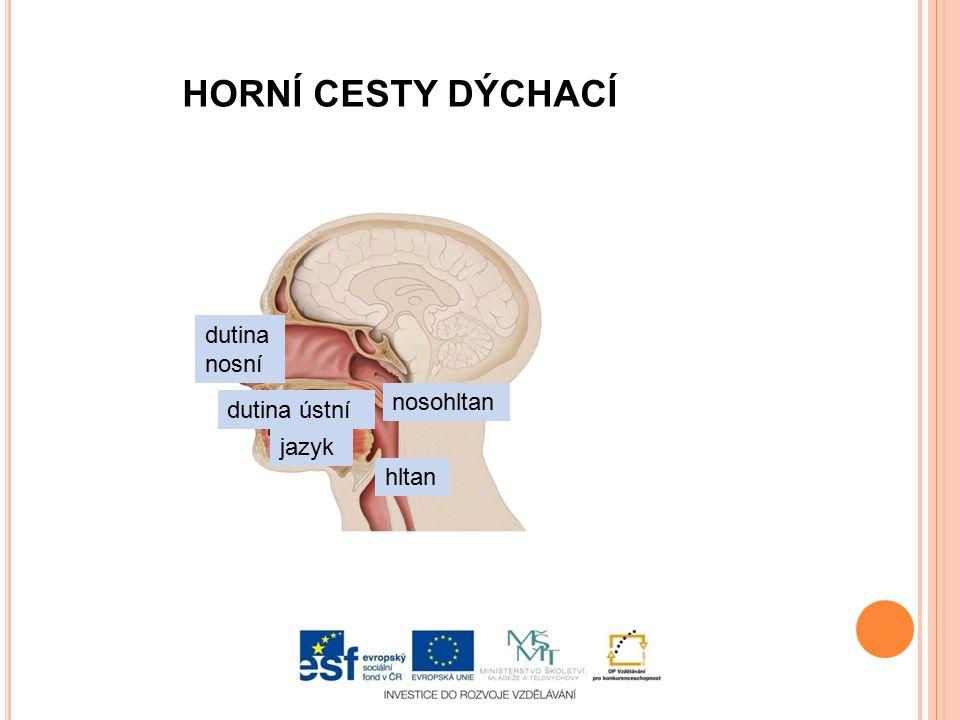 HORNÍ CESTY DÝCHACÍ dutina nosní nosohltan dutina ústní jazyk hltan