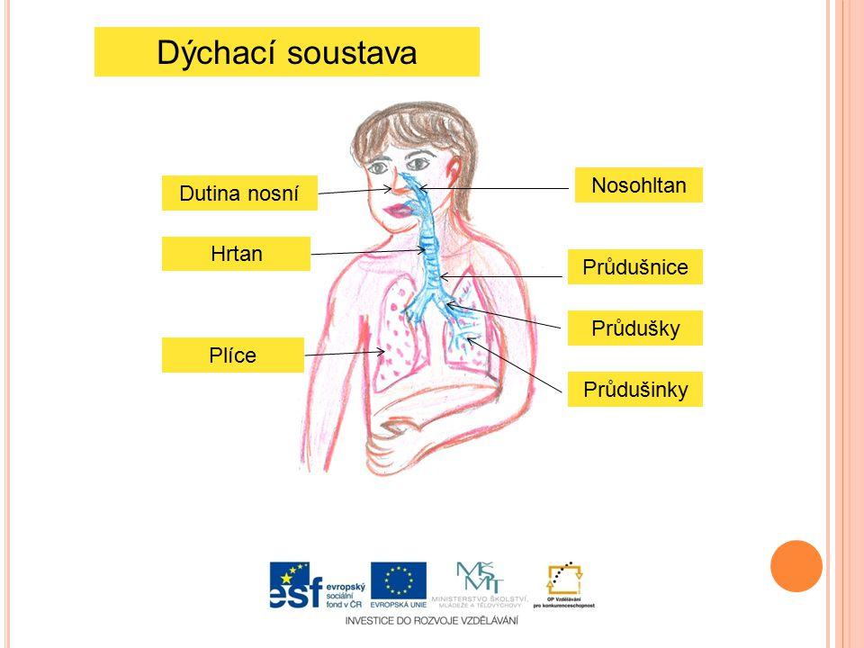 Dýchací soustava Nosohltan Dutina nosní Hrtan Průdušnice Průdušky