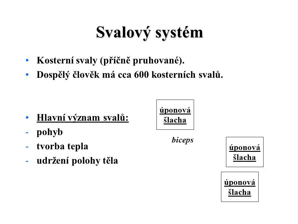Svalový systém Kosterní svaly (příčně pruhované).