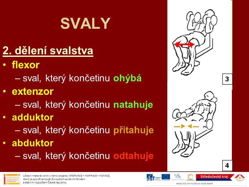 SVALY 2. dělení svalstva flexor extenzor sval, který končetinu ohýbá