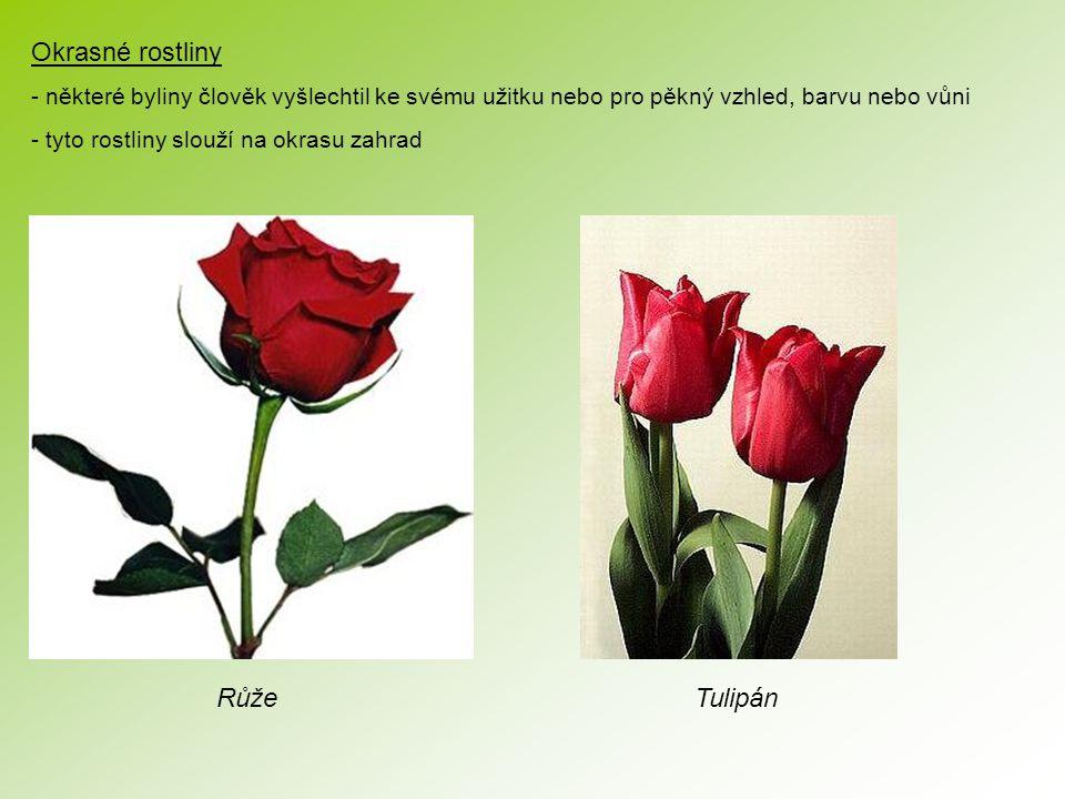 Okrasné rostliny Růže Tulipán