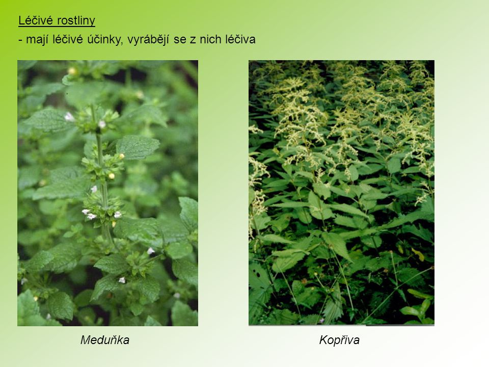 Léčivé rostliny - mají léčivé účinky, vyrábějí se z nich léčiva Meduňka Kopřiva