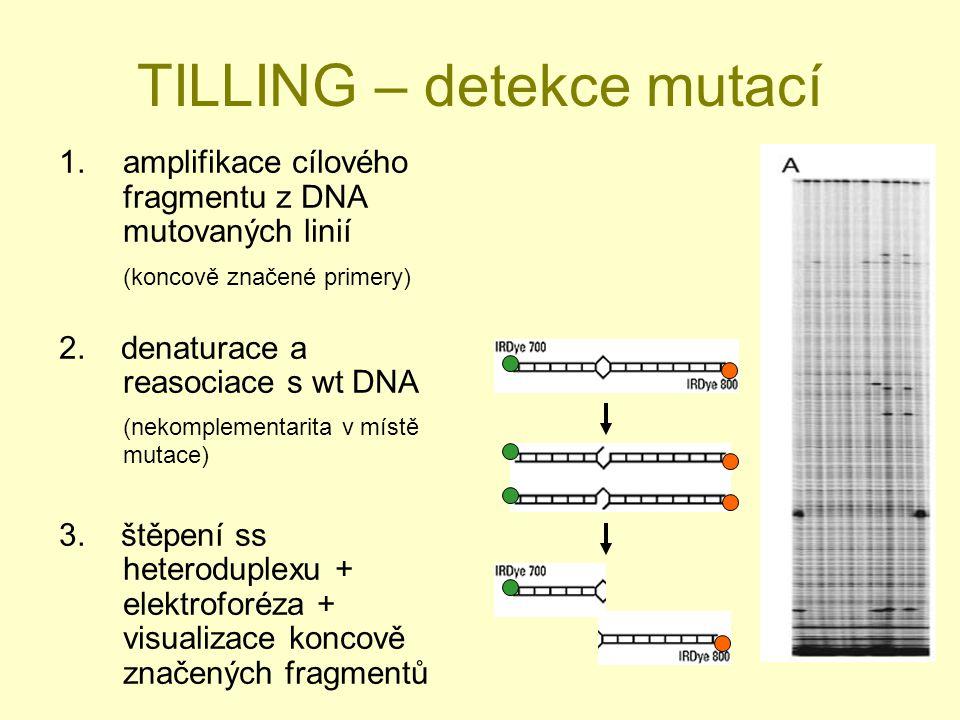 TILLING – detekce mutací