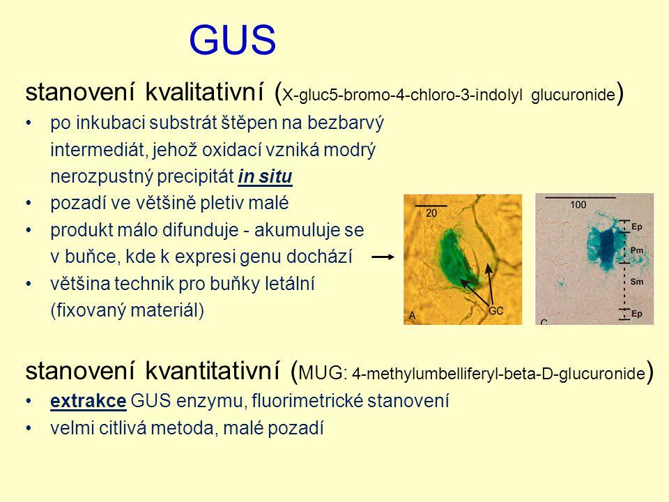 GUS stanovení kvalitativní (X-gluc5-bromo-4-chloro-3-indolyl glucuronide) po inkubaci substrát štěpen na bezbarvý.