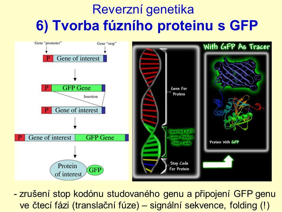 Reverzní genetika 6) Tvorba fúzního proteinu s GFP