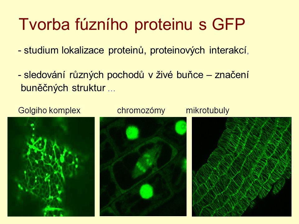 Tvorba fúzního proteinu s GFP
