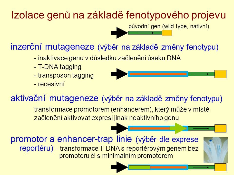 Izolace genů na základě fenotypového projevu