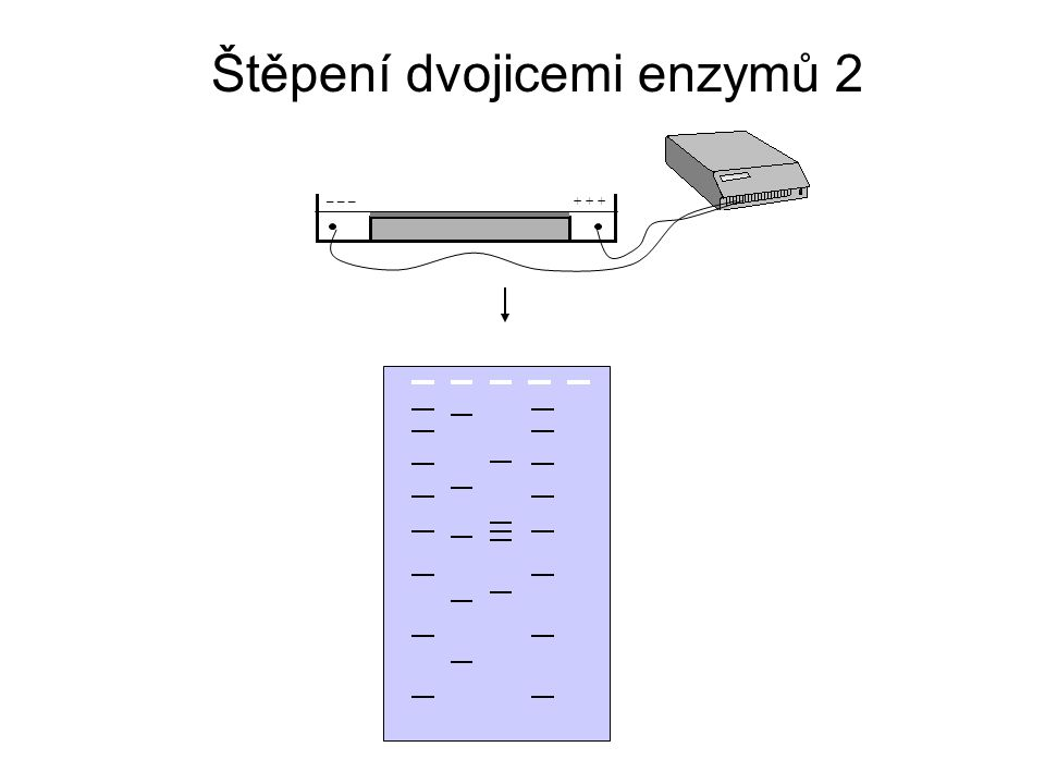 Štěpení dvojicemi enzymů 2