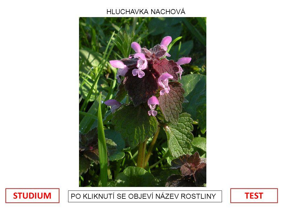 HLUCHAVKA NACHOVÁ STUDIUM TEST PO KLIKNUTÍ SE OBJEVÍ NÁZEV ROSTLINY