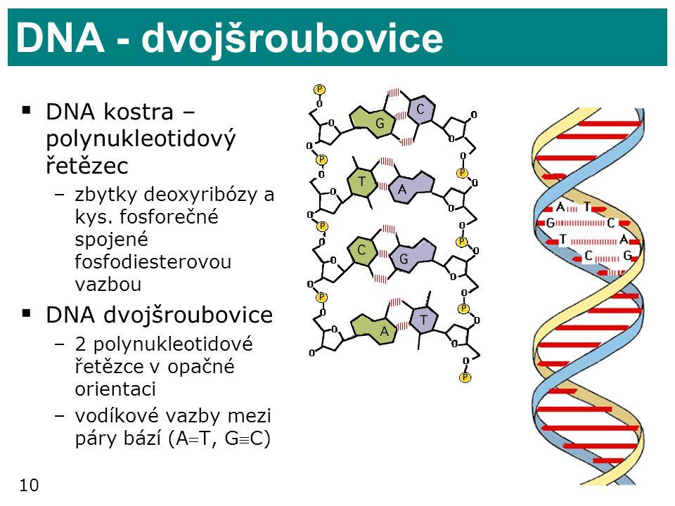 DNA - dvojšroubovice DNA kostra – polynukleotidový řetězec