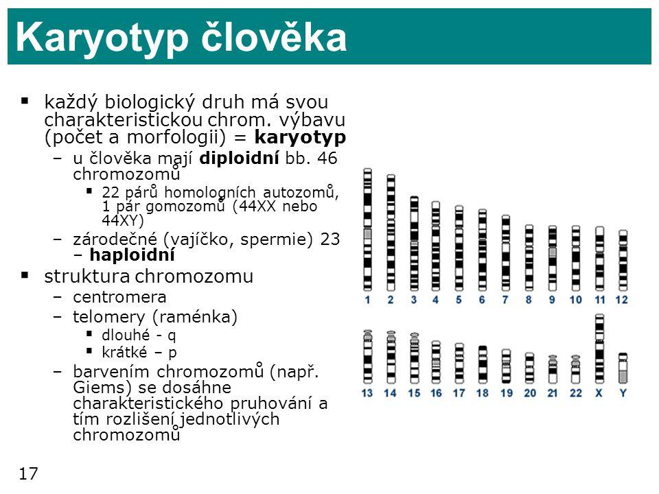 Karyotyp člověka každý biologický druh má svou charakteristickou chrom. výbavu (počet a morfologii) = karyotyp.