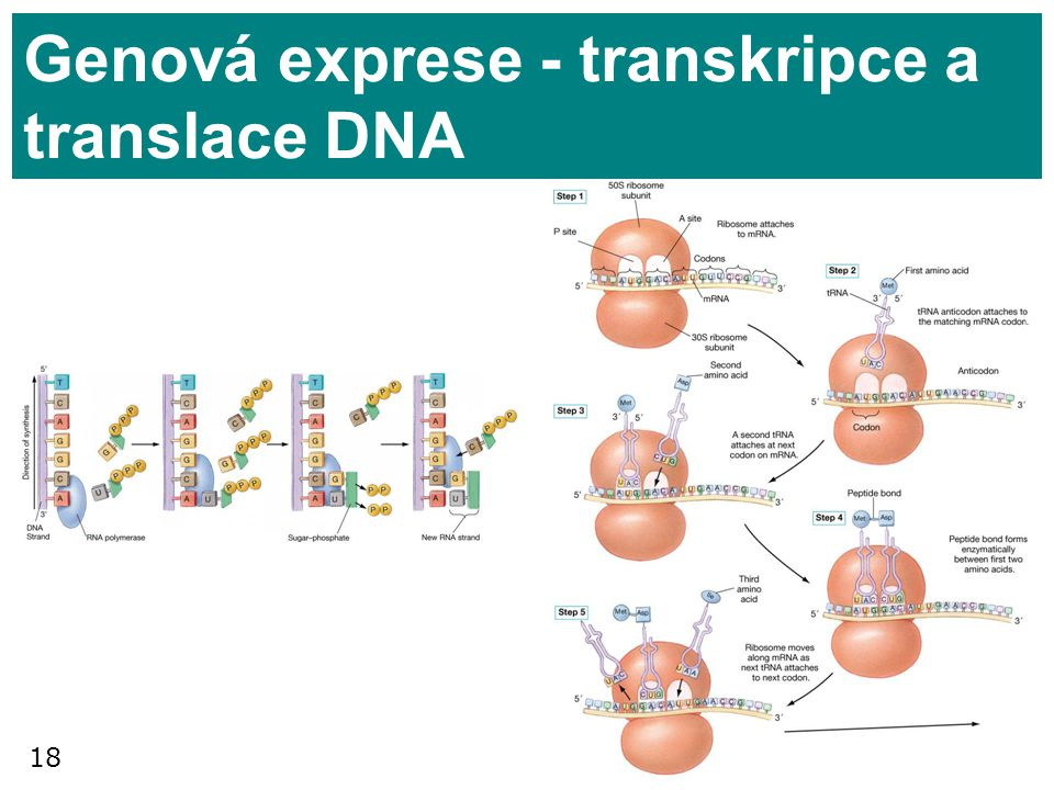 Genová exprese - transkripce a translace DNA