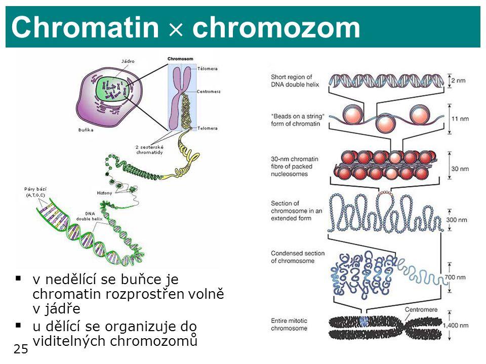 Chromatin  chromozom v nedělící se buňce je chromatin rozprostřen volně v jádře.