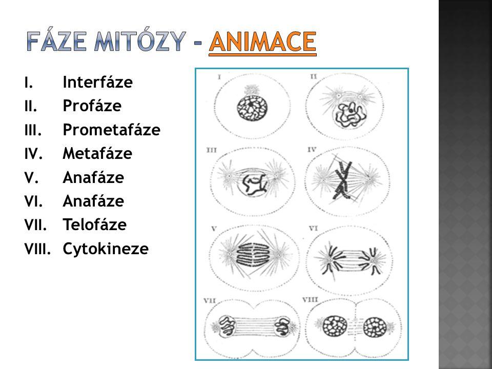 Fáze mitózy - animace Interfáze Profáze Prometafáze Metafáze Anafáze