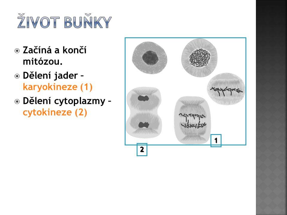 Život buňky Začíná a končí mitózou. Dělení jader – karyokineze (1)