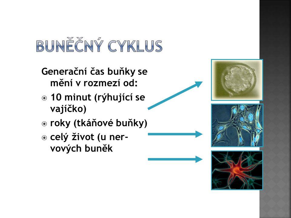 Buněčný cyklus Generační čas buňky se mění v rozmezí od: