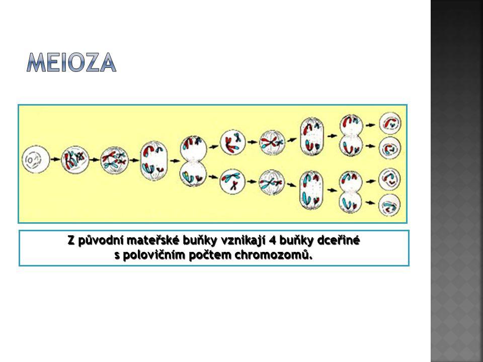 Meioza Z původní mateřské buňky vznikají 4 buňky dceřiné