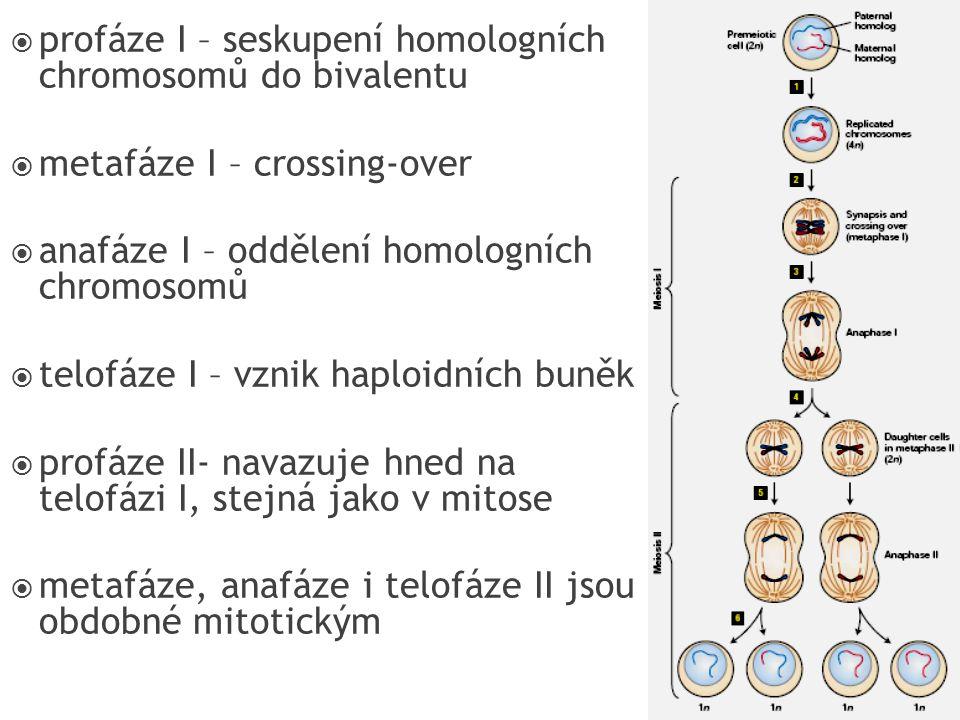 profáze I – seskupení homologních chromosomů do bivalentu
