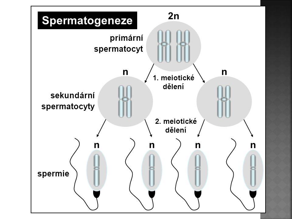 Spermatogeneze 2n n primární spermatocyt sekundární spermatocyty