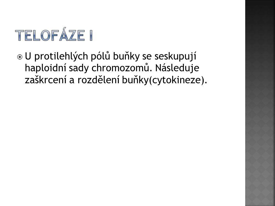 Telofáze I U protilehlých pólů buňky se seskupují haploidní sady chromozomů.