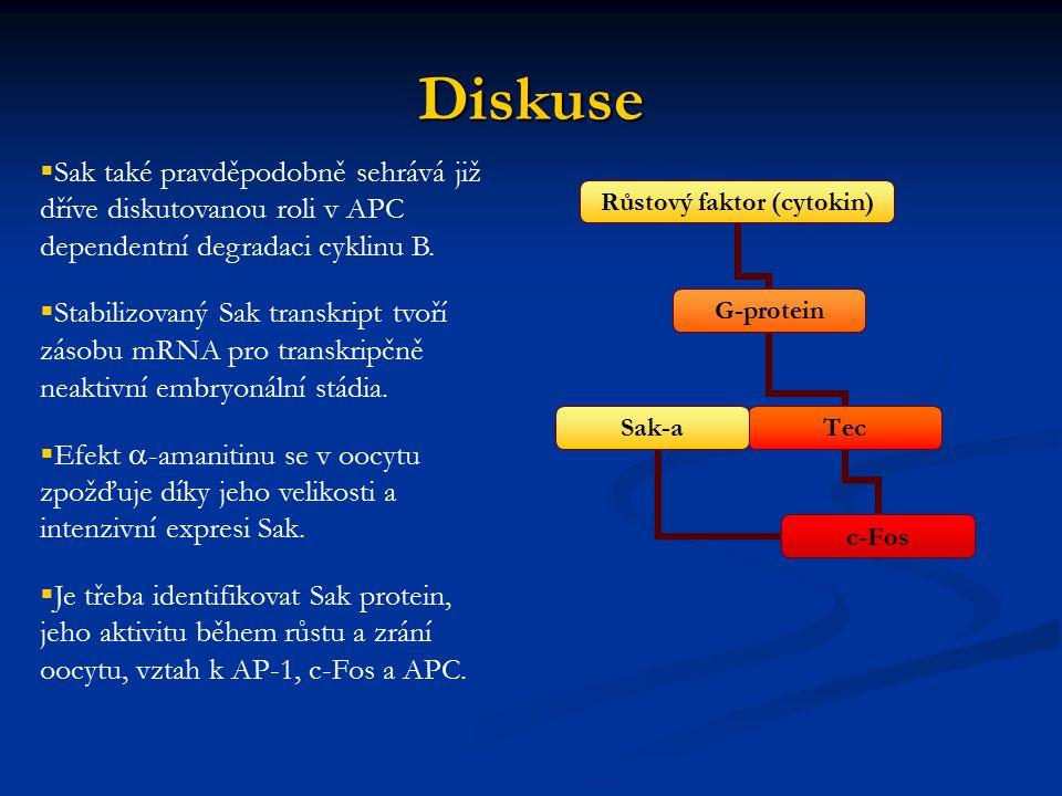 Diskuse Sak také pravděpodobně sehrává již dříve diskutovanou roli v APC dependentní degradaci cyklinu B.