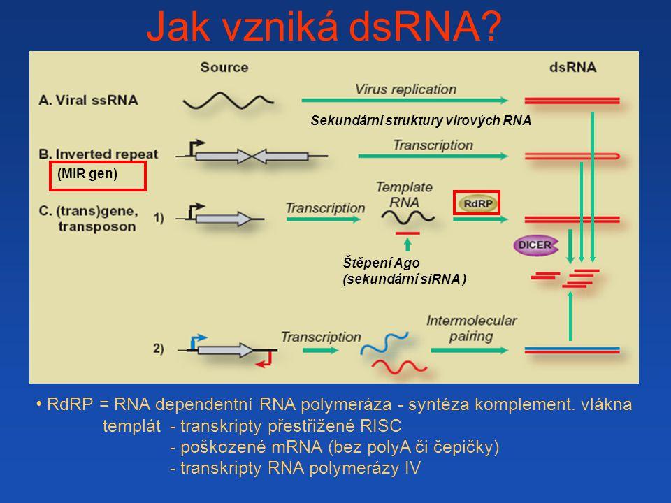 Jak vzniká dsRNA Sekundární struktury virových RNA. (MIR gen) RdRP = RNA dependentní RNA polymeráza - syntéza komplement. vlákna.