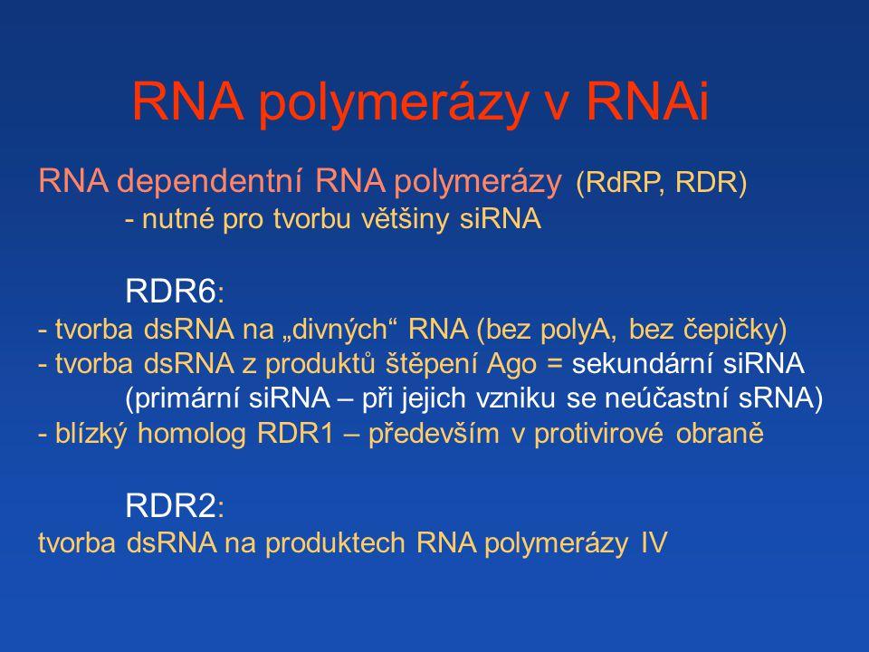 RNA polymerázy v RNAi RNA dependentní RNA polymerázy (RdRP, RDR) RDR6:
