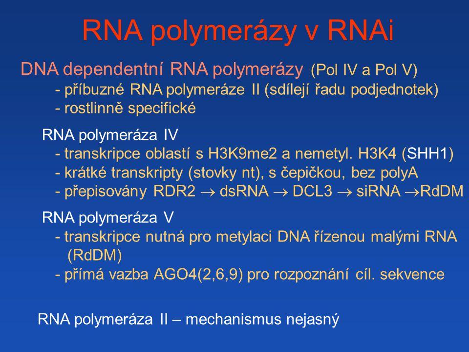 RNA polymerázy v RNAi DNA dependentní RNA polymerázy (Pol IV a Pol V)